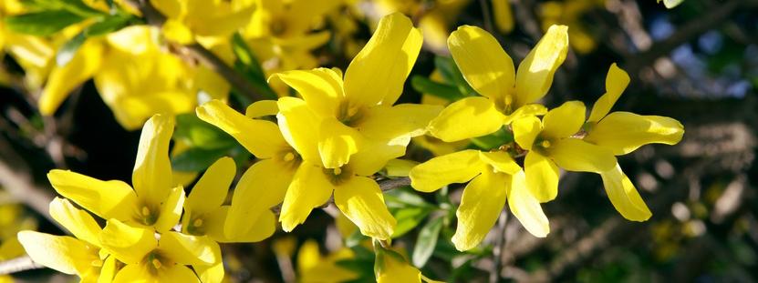 Nove fiori gialli